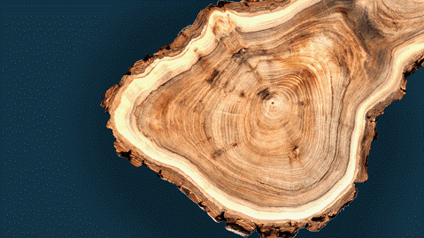 Close up of tree cross section on a dark blue background