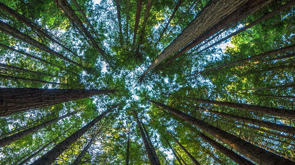 Looking up from the ground into a canopy of tall, green trees with blue sky beyond